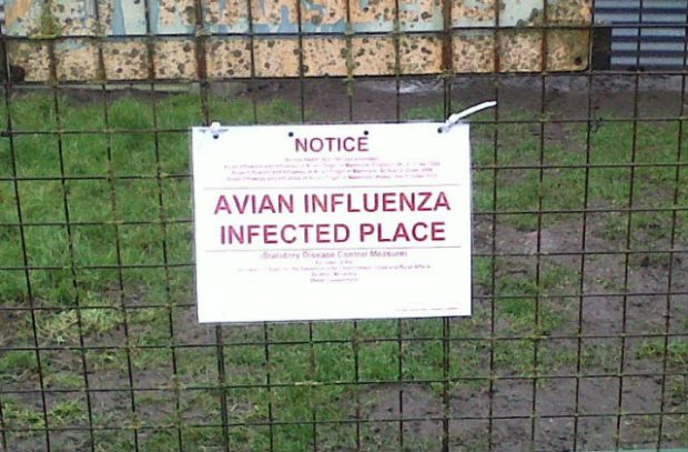 A bird flu warning sign on a metal fence. The sign reads 'Notice Avian Influenza Infected Place'