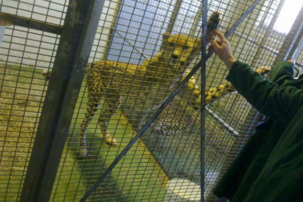 Cheetah in a cage standing on its hind legs