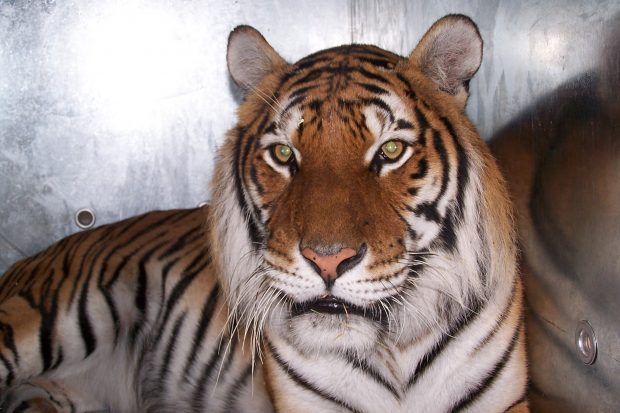 A tiger in a transport cage