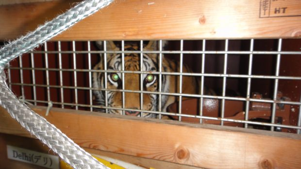 Tiger in a transport cage looking through the mesh in the box.