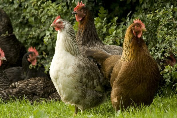 a group of chickens in a field