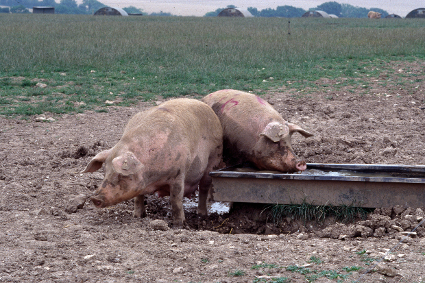 Two pigs eating from a trough in a muddy field
