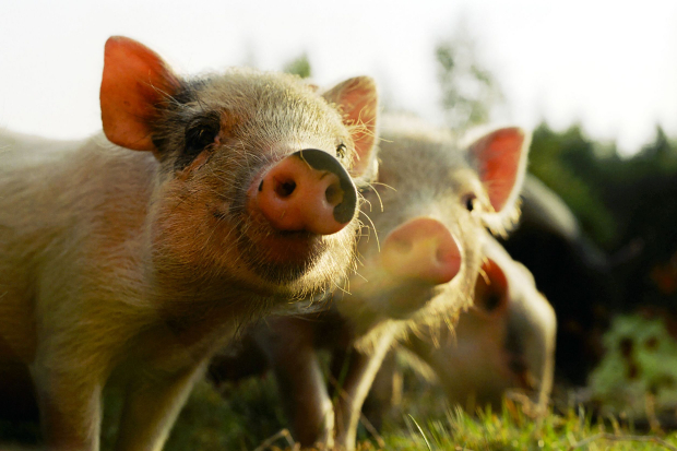 3 piglets in a field looking at the camera