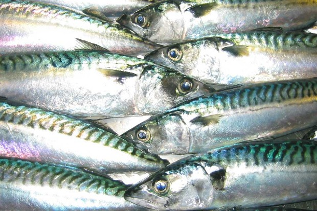 Eight mackrel fish
