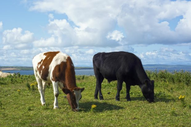 Two cows grazing in a field