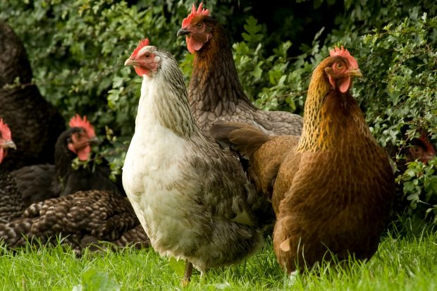 A number of chickens in a field