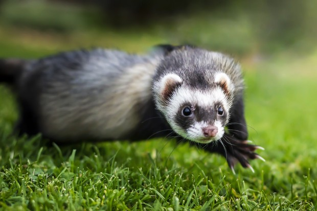 a picture of a ferret jumping across grass